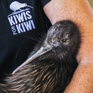 Close up of kiwi being help in the arms of a human